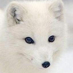 顽皮的雪狐七七